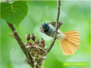 阜南县发现绶带鸟