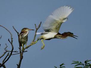 鸟儿的天堂——临泉县鹭鸟
